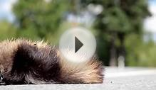 135 Cars passed by dead animal Raccoon dog body swamred by