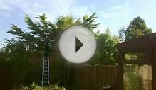 Claydon Garden & Tree Services - Small Lylandii removal
